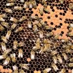 Bee colony — Stock Photo #25654497
