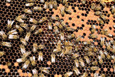 Bee colony — Stock Photo