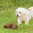 Bichon havanese dog in park — Stock Photo #28002441