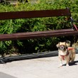 Pekingese tethered dog waiting for his owner — Stock Photo #30282589