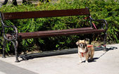 Pekingese tethered dog waiting for his owner — Stock Photo