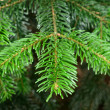 Green  pine branch in spring — Stock Photo