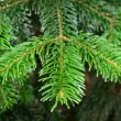 Stock Photo: Green pine branch in spring