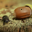 Stag beetle and acorn on tree trunk — Stock Photo