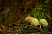 Oak acorn on mossy tree — Stock Photo