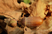 Acorns on the dead leaf in autumn — Stock Photo