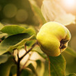 Quince growing in garden — Stock Photo #31747273