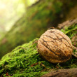 Nut on a mossy ground — Stock Photo