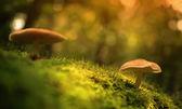 Mushrooms on the mossy ground — Stock Photo