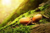 Hazelnuts on a mossy ground — Stock Photo