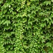 Wall of wild grape leafs — Stock Photo