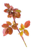 Color autumn rose branch isolated on white — Stock Photo