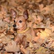 Постер, плакат: Miniature Pinscher lie on the dead leaf