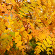 Autumn leaves on the tree — Stock Photo