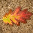 Autumn oak leaf — Stock Photo