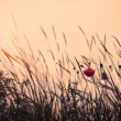 Summer poppies at sunset — Stock Photo