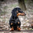 Portrait of dachshund — Stock Photo