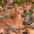 Miniature Pinscher lie on the dead leaf — Stock Photo