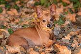 Miniature Pinscher lie on the dead leaf — Stock Photo