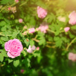 Stock Photo: Rose flower in garden
