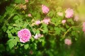 Roze bloem in de tuin — Stockfoto