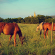 Stock Photo: Chestnut horses graze on meadow