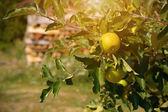 Healthy apple on a tree — Stock Photo