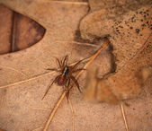 Wolf spider resting — Stock Photo