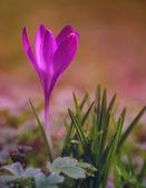 блум крокус цветок в поле — Стоковое фото