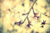 Cherry flower blossom, vintage view — Stock Photo