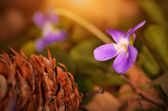Violet flower blossom at sunset — 图库照片