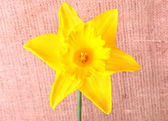 Narciso giallo su sfondo vestirono — Foto Stock