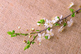 Spring branch on sackcloth background — Stock Photo
