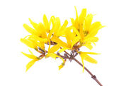 Forsythia flowers isolated on white — Stock Photo