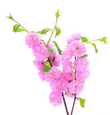 Pink cherry flower isolated on a white background — Stock Photo