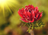 Red flower in field — Stockfoto