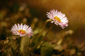 Daisy flower bloom in the field — Foto Stock