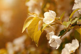 Cherry tree flower bloom — Stockfoto