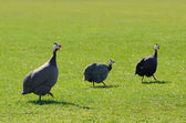 Guinea fowl on greem grass — Stock Photo