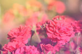Dreamy photo of a bouquet rose — Stockfoto