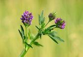 Closeup photo of a purple wildflower — Stock Photo