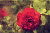 Vintage photo of a rose flower — Stock Photo