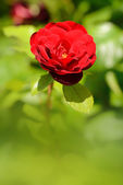 Closeup photo of a beautiful rose — Stock Photo