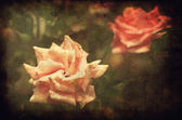 Vintage photo of a roses — Stock Photo