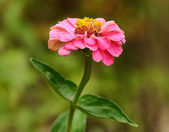 Closeup photo of a pink flower — Stock Photo