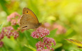 Butterfly resting on a wildflower  — Stock Photo