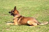 German shepherd resting — Stock Photo
