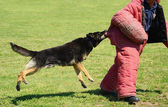 K9 dog in training, attack demonstration — Stock Photo