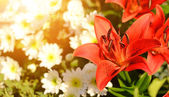 Closeup photo of red lily — Stock Photo