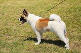 Beauty Akita Inu dog — Stock Photo